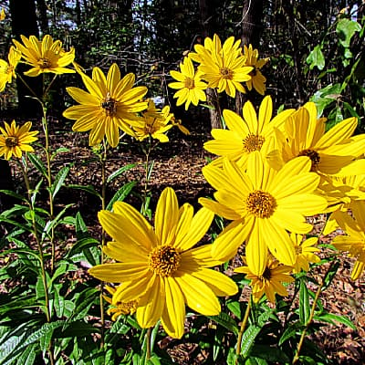 how to care for swamp sunflower Helianthus angustifolius