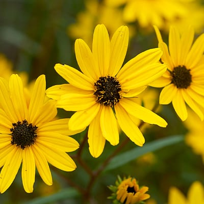 how to grow swamp sunflower