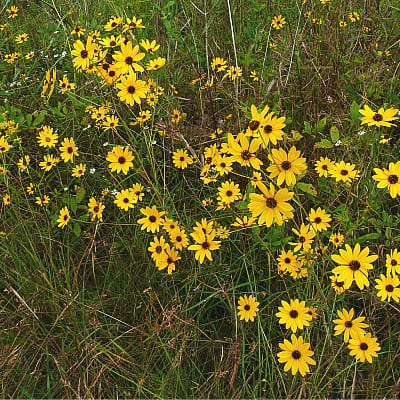 swamp sunflower plant care