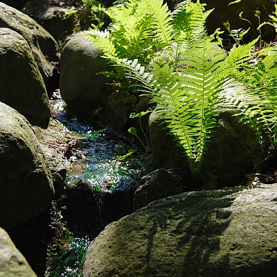best ferns for ponds and waterfalls