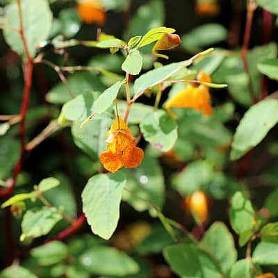 how to plant jewelweed in waterfall gardens