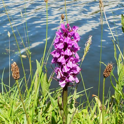 how to grow marsh orchid