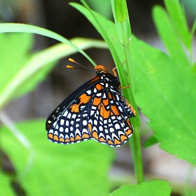 baltimore checkerspot butterfly in garden