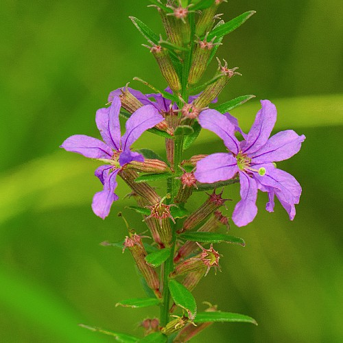 winged loosestrife flower native michigan