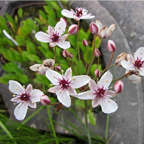 how to plant flowering rush