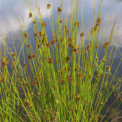 how to grow soft rush in ponds