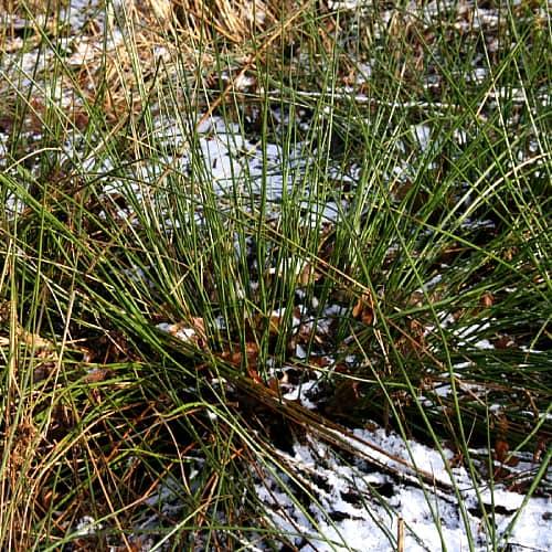 soft rush in winter