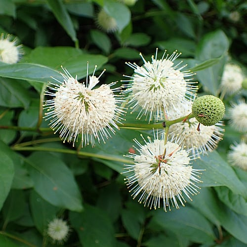 buttonbush flowers cephalanthus occidentalis