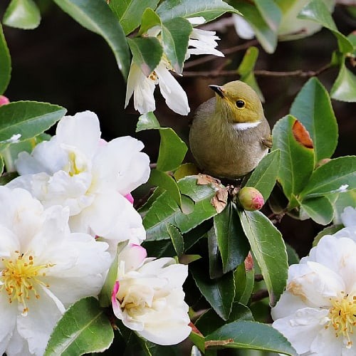 honey eater on a camellia