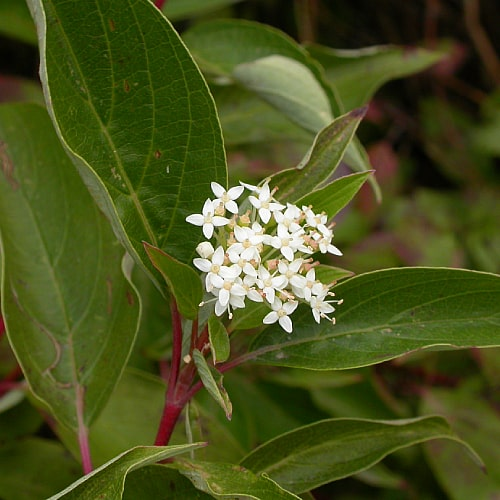 how to grow red osier dogwood cornus sericea