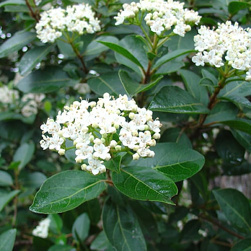 eve price viburnum growing near a pond