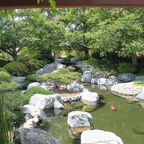 pond garden with koi and shrubs trees plants