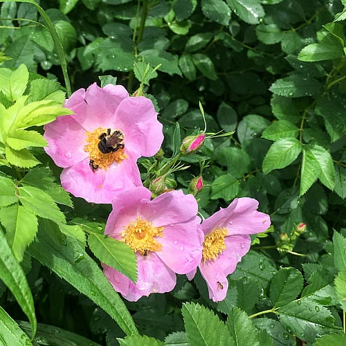 swamp rose (rosa palustris) flowers with bumblebee