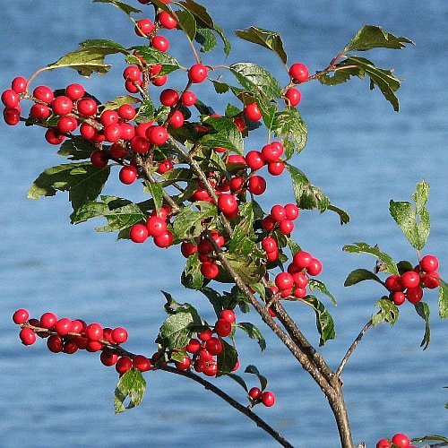 winterberry ilex verticillata growing by water
