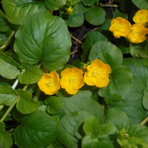 creeping jenny growing in the shade