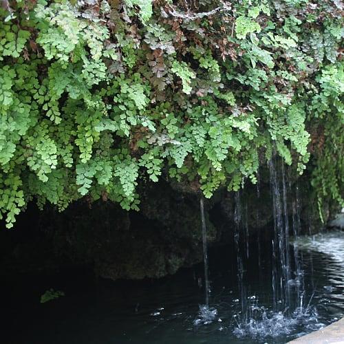 maidenhair ferns in a pond