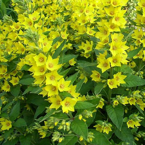 yellow loosestrife blooming