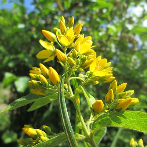 yellow loosestrife blooming in the sun