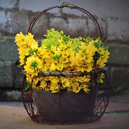 yellow loosestrife blooming in a pot