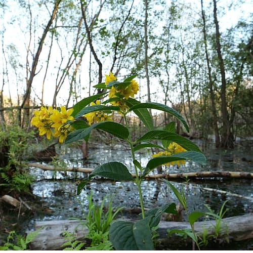 yellow loosestrife lysimachia vulgaris growing in a wetland