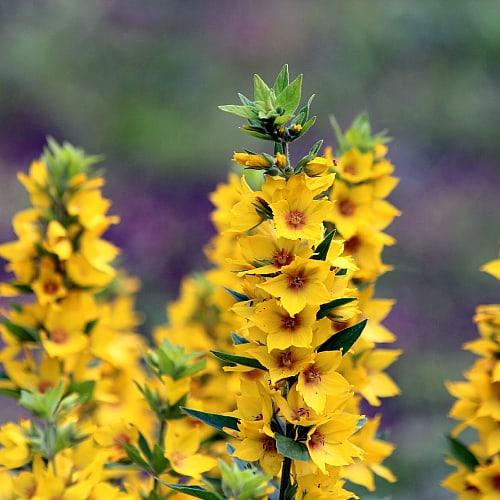 yellow loosestrife lysimachia vulgaris flowering