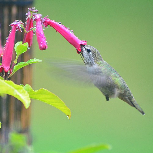 a hummingbird collecting nectar from a pink tubular flower