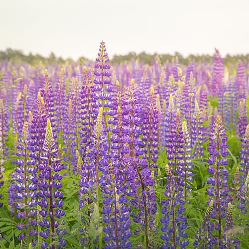 wild lupine lupine perennis blooming in a sunny field