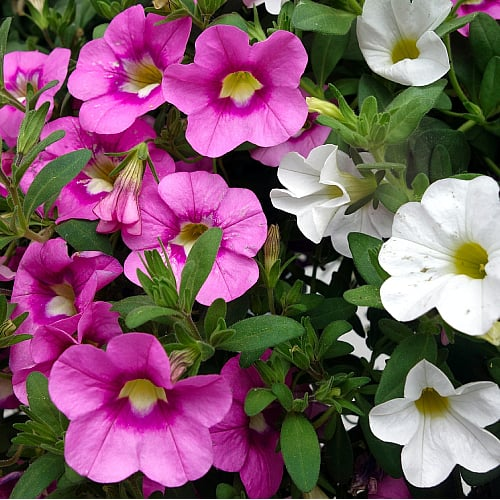 pink and white petunias blooming in a garden