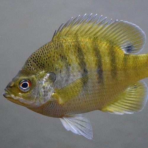 bluegill fish of saguaro lake