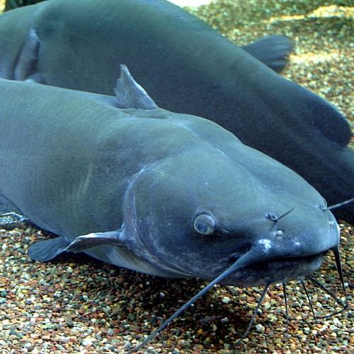 several channel catfish in an aquarium