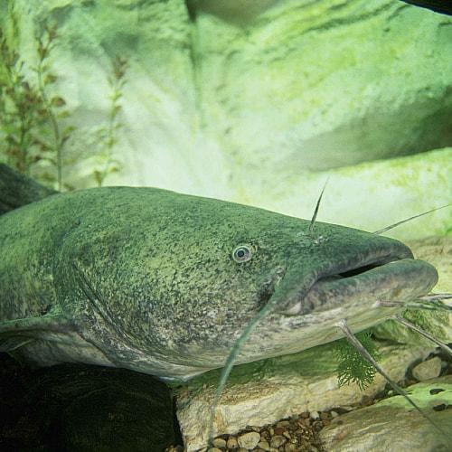 flathead catfish Pylodictis olivaris swimming