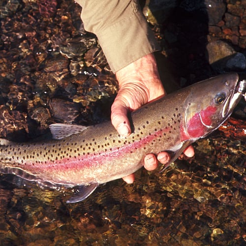 a rainbow trout in the Pacific Northwest
