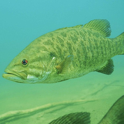 smallmouth bass in shallow water