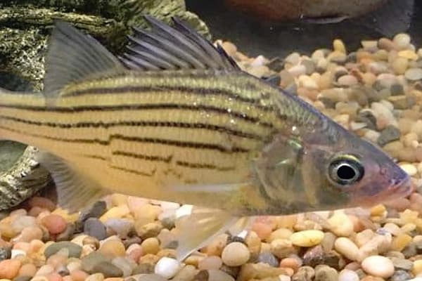 yellow bass Morone mississippiensis swimming