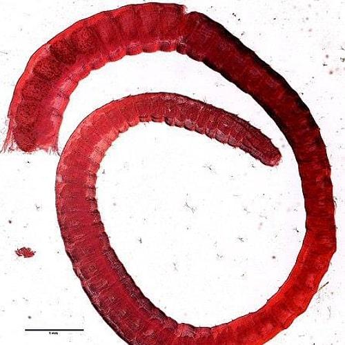 aquatic worm limnodrilus hoffmeisteri