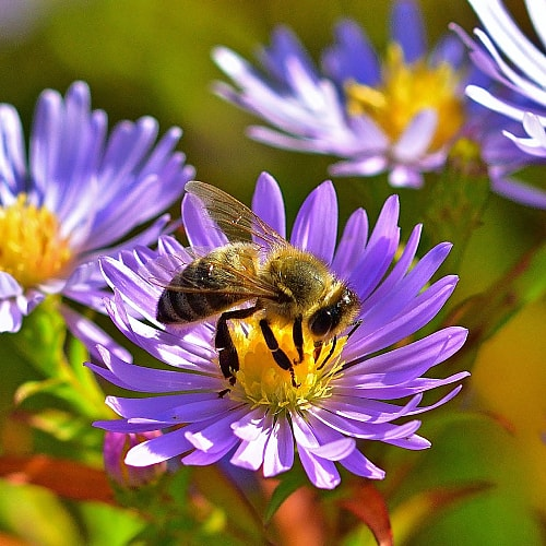 A bee gathering pollen from a purple aster