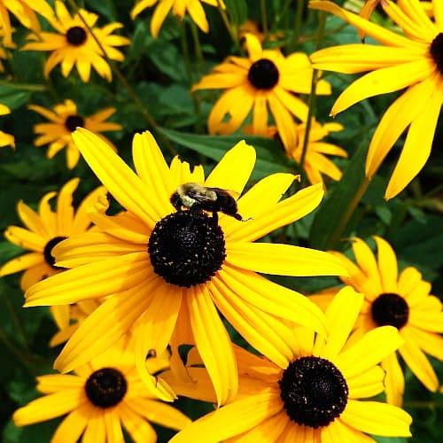 A honeybee on a black-eyed susan Rudbeckia hirta