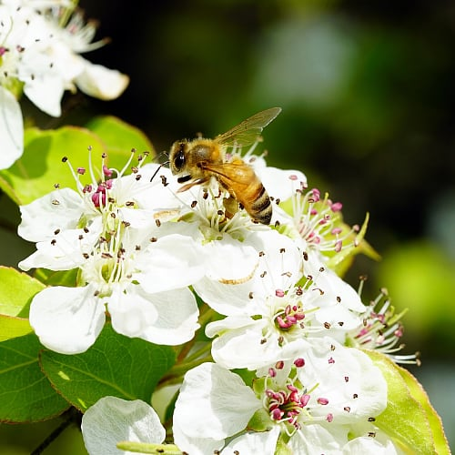 A bee collecting pollen from a cherry blossom