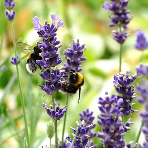 Several bumblebees on a lavender plant