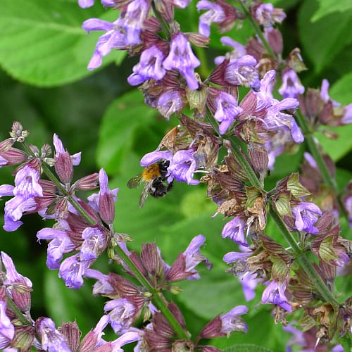 A bee gathering pollen from sage flowers