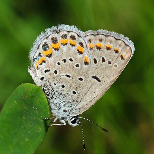 a karner blue butterfly on a wild lupine leaf