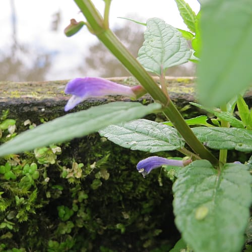 common skullcap growing in damp soil with moss
