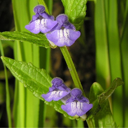 common skullcap scutellaria galericulata growing in the sun