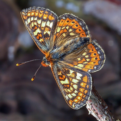 Marsh fritillary butterflies depend on devil's bit scabious