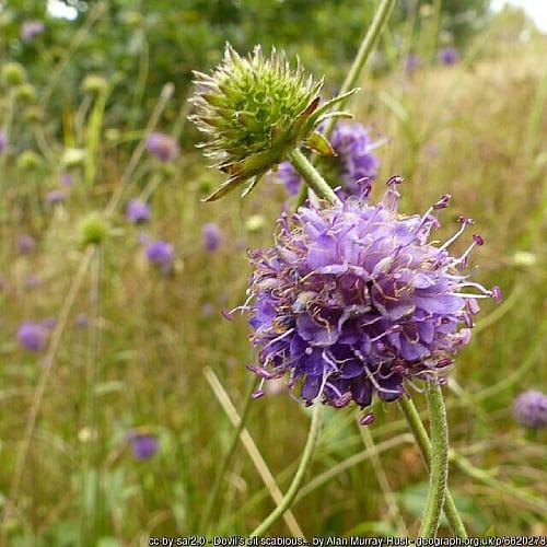Many devil's-bit scabious plants in bloom in a field