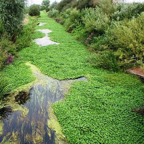 floating pennywort Hydrocotyle ranunculoides choking a waterway