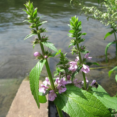 marsh woundwort growing by a pond