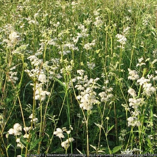 A field of meadowsweet that has become invasive