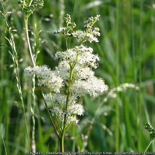 filipendula ulmaria with white flowers in a field