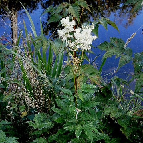 how to plant meadowsweet in ponds